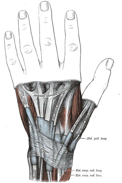 abductor pollicis longus - orthopaedicsone articles - orthopaedicsone, Sphenoid