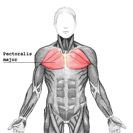 Pectoralis Major - Orthopaedicsone Articles