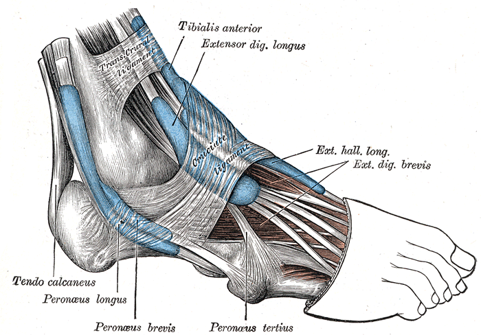 Extensor Hallucis Longus Orthopaedicsone Articles