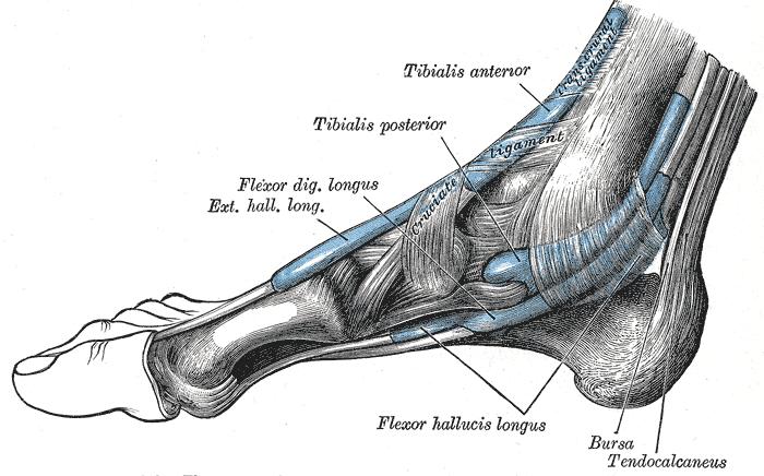 flexor digitorum longus orthopaedicsone articles orthopaedicsone