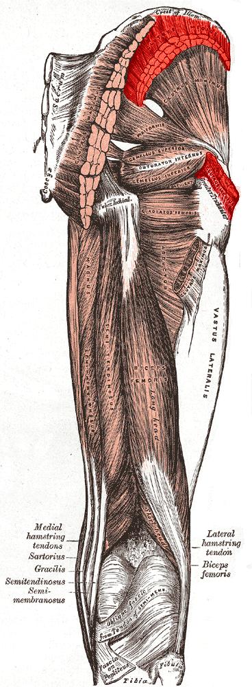 Gluteus medius - OrthopaedicsOne Articles - OrthopaedicsOne