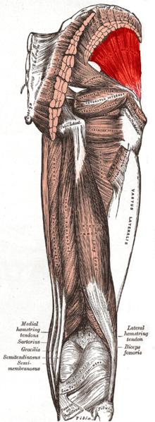 Gluteus Minimus Orthopaedicsone Articles Orthopaedicsone