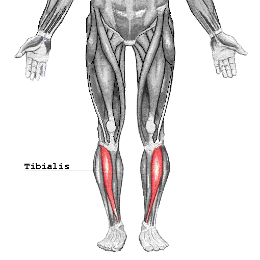 tibialis anterior - orthopaedicsone articles - orthopaedicsone, Human Body