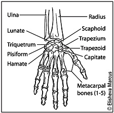 Wrist Fractures - Orth...