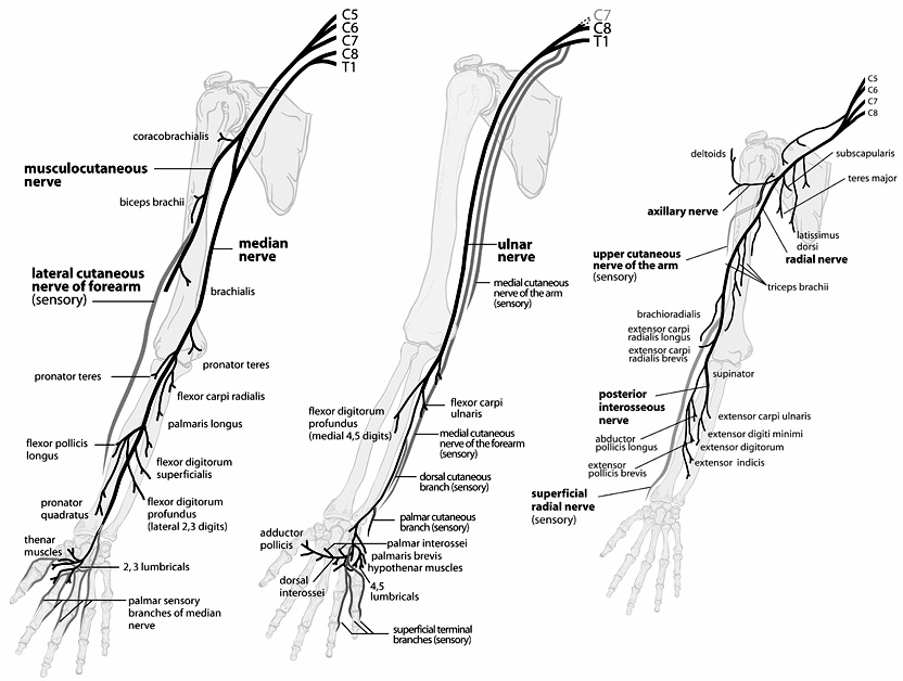 Peripheral Nerves of the Upper Extremity - OrthopaedicsOne Clerkship ...