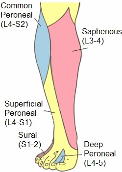 Superficial Peroneal Nerve Innervation