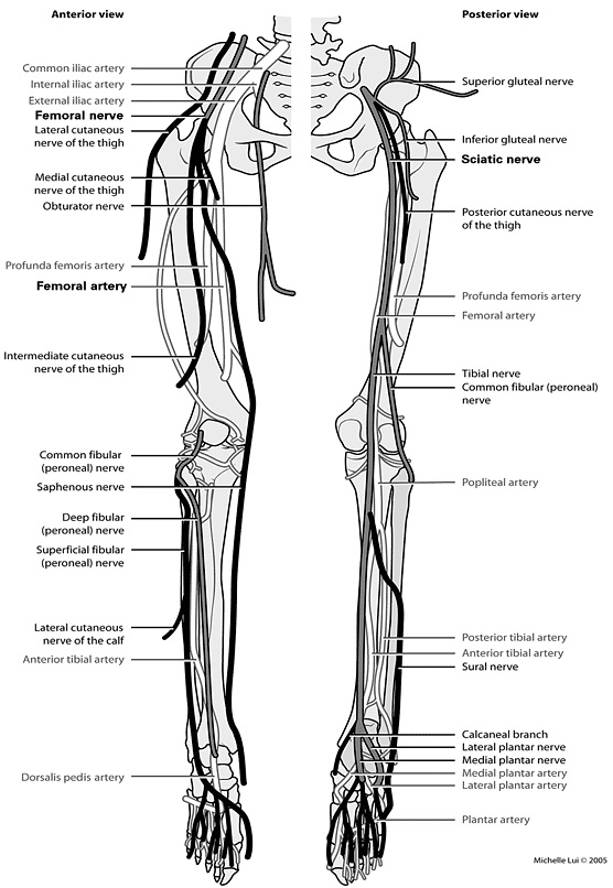 Peripheral Nerves And Arteries Of The Lower Extremity