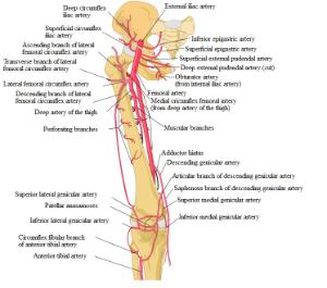 femoral artery - orthopaedicsone articles - orthopaedicsone, Cephalic Vein