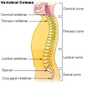 lumbar vertebrae - orthopaedicsone articles - orthopaedicsone, Human Body
