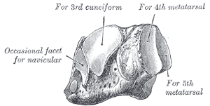 cuboid - orthopaedicsone articles - orthopaedicsone, Human Body