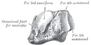 cuboid - orthopaedicsone articles - orthopaedicsone simple bone diagram